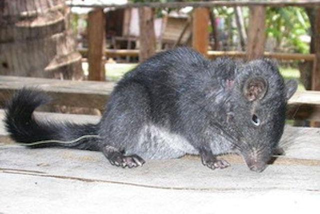 крыса морская фото