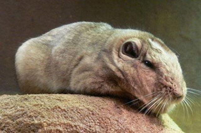 Родственником лаосской горной крысы оказалась морская свинка