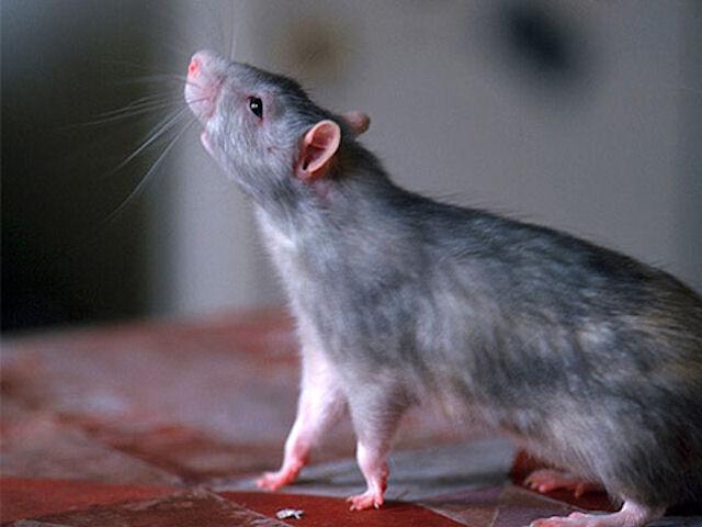 Россияне всё чаще подвергаются нападению крыс
