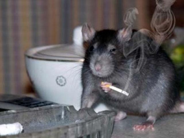 Самарские чиновники ведут борьбу с крысами