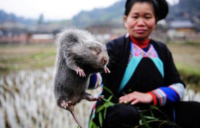 Самая большая крыса живёт в Китае