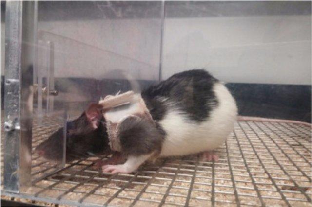 Самцы крыс выбирают одетых самок