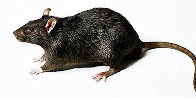 Санкт-Петербург заполонили гигантские влюблённые крысы