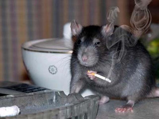Шымкент не может противостоять нашествию крыс