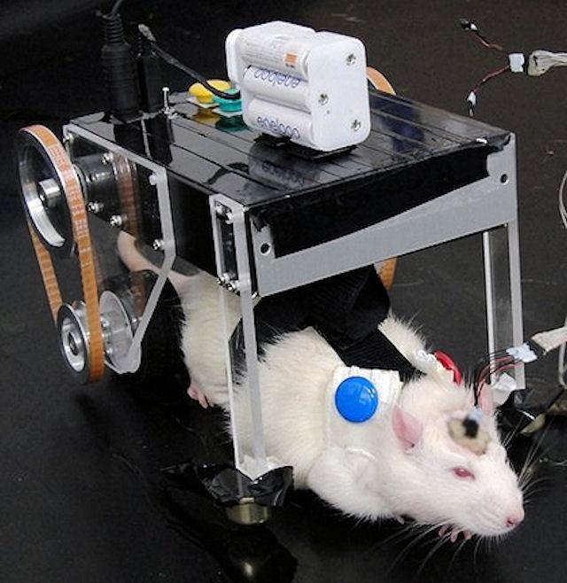 Сила мысли помогла японским крысам управлять машиной
