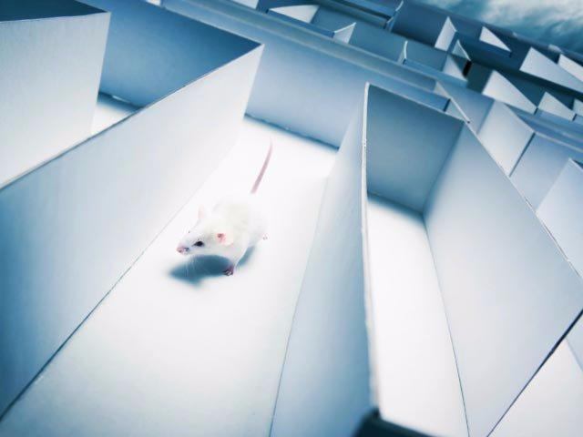 Слепых крыс «научили» ориентироваться в лабиринте