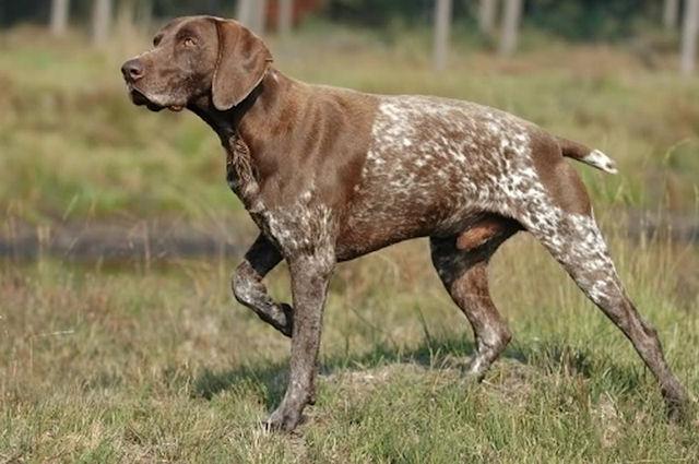 Собаки охотничьих пород