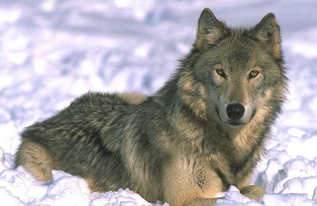 Почему собаки дружелюбнее волков?