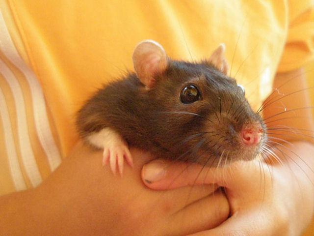 Содержание крысы