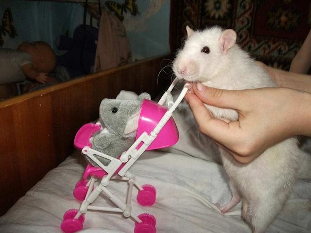Спаривание делает крыс и мышей умнее