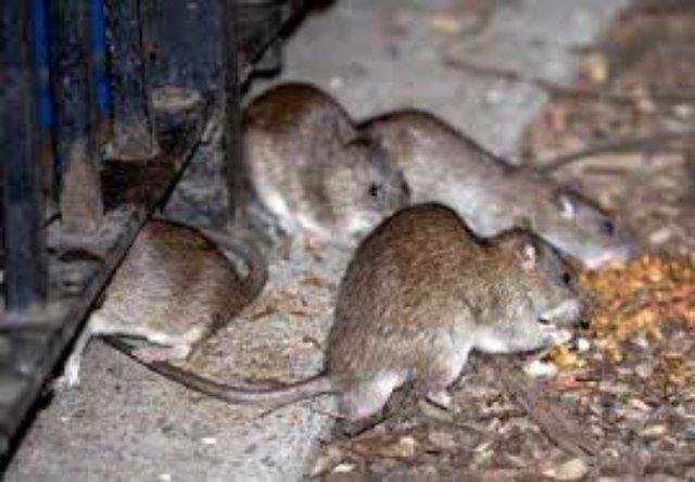 Спасённая американцем мышь заразила его бубонной чумой