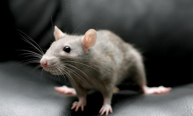 Среди крыс нашлись оптимисты