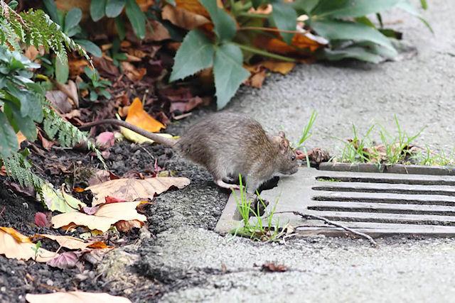 В лондонском парке стая крыс бросилась на детей