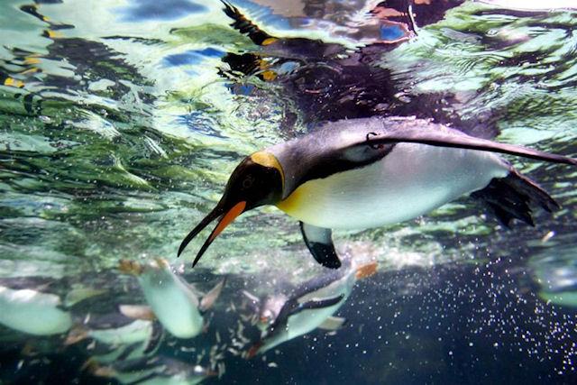 Страус и пингвин
