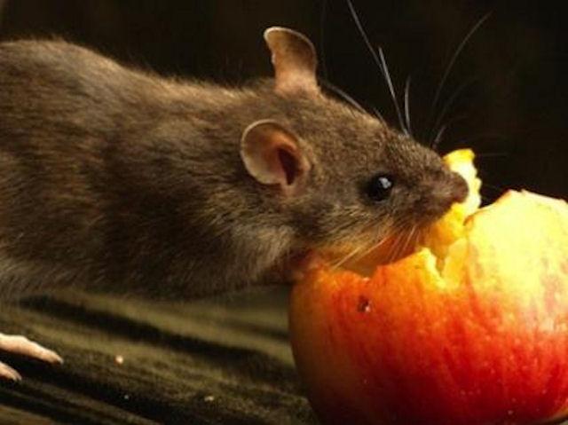 Теперь и крысы умеют пользоваться айпадом