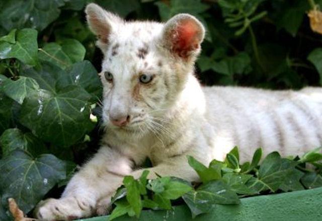 В Японии родились четыре тигренка-альбиноса