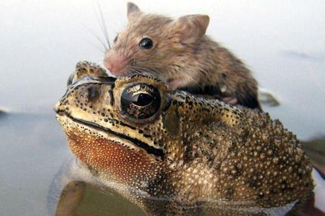 Тонущая крыса была спасена лягушкой