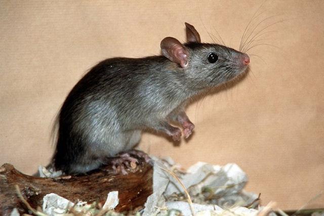 Травля крыс закончилась отравлением жителей