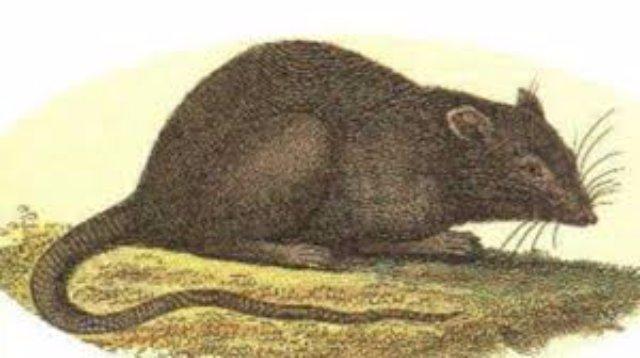 Ученые нашли «эликсир молодости» для мышей