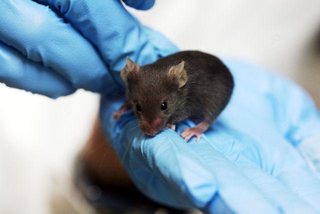 Ученые нашли способ омоложения мышей