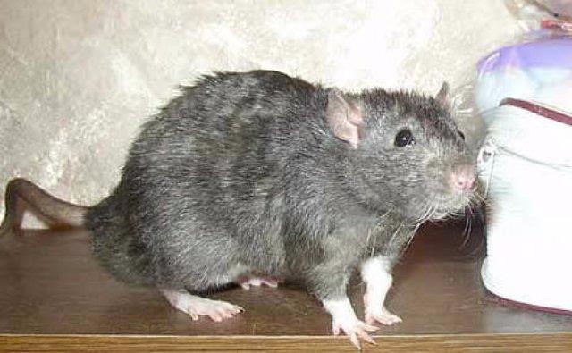 Ученые научили крыс избавляться от героиновой зависимости