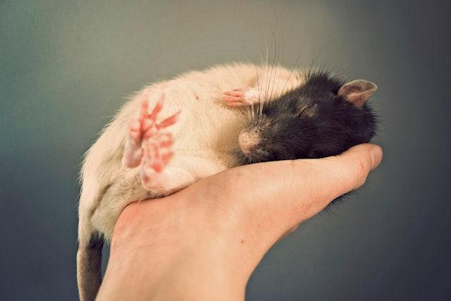 Ученые обнаружили мышей, которые не полнеют