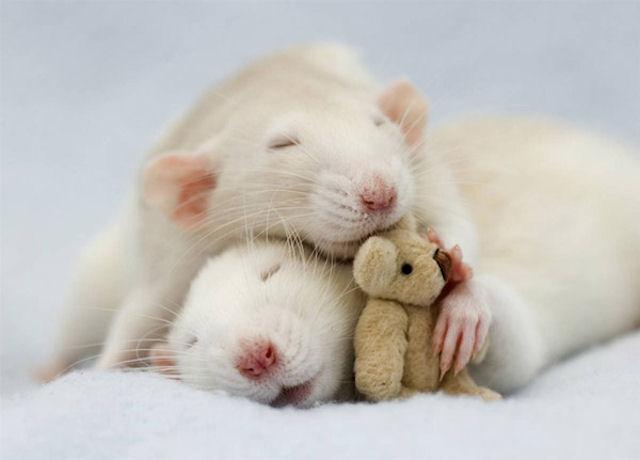 Ученые объяснили секрет наличия волос во рту крыс и хомяков