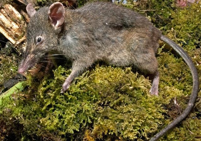 Ученые открыли новый вид грызунов