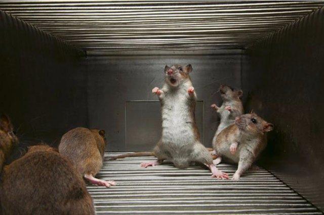 Ученые превратили злых крыс в добрых