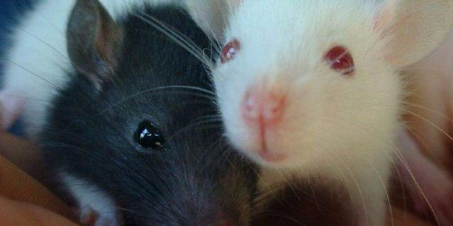 Ученые решили заменить лабораторных мышей виртуальными двойниками