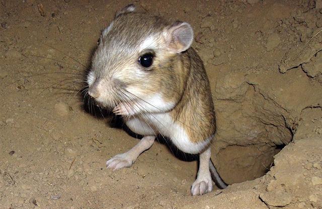 Ученые встанут на защиту кенгуровых крыс