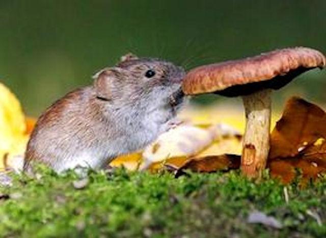 Ученые выяснили, что мыши общаются посредством пения