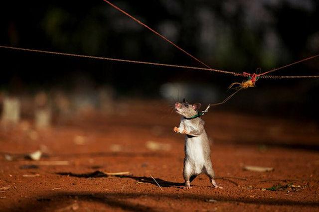 Ученые выяснили почему крыс никогда не тошнит