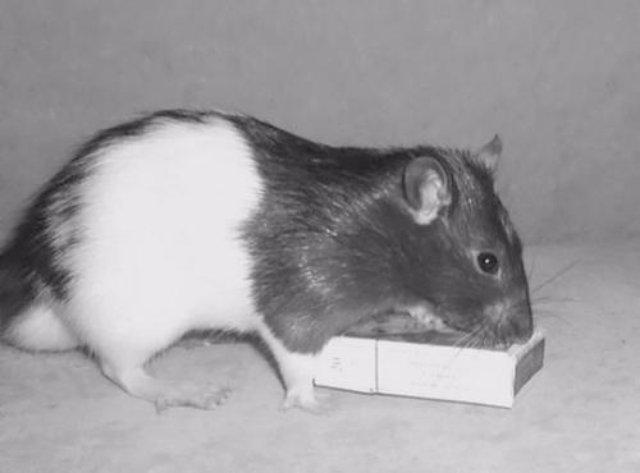 Ученые выяснили влияние морфия на крыс