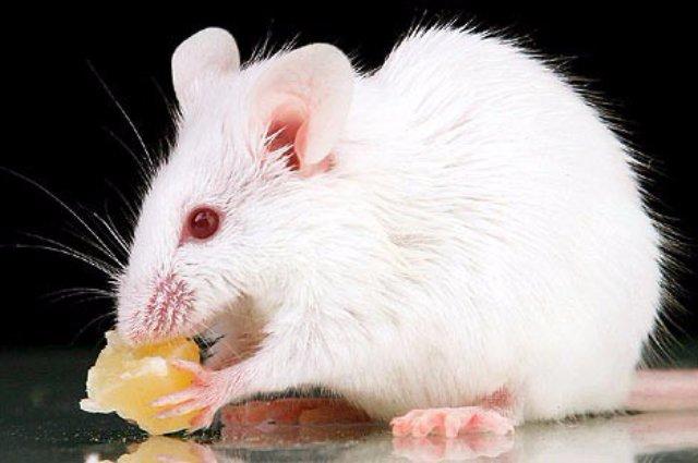 Ученым удалось создать мышь от 2-х отцов