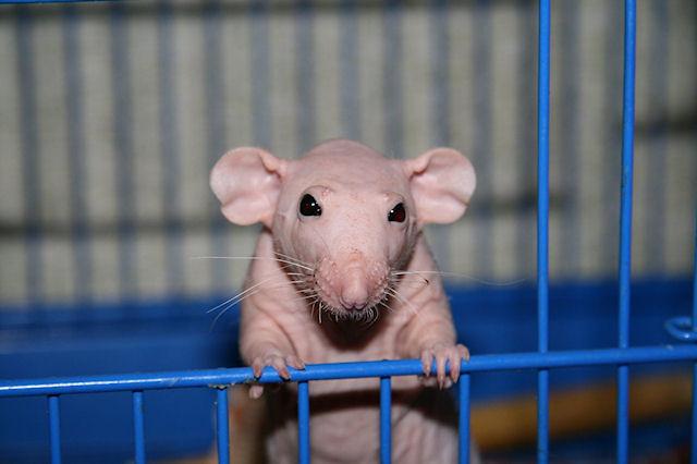 Украинских крыс погубили сухарики и чипсы