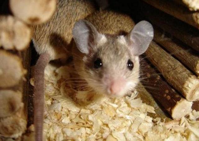 Украинских мышей вернули на родину