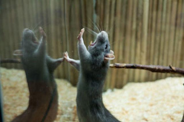 Самки мышей «ведутся» на ультразвуковое пение
