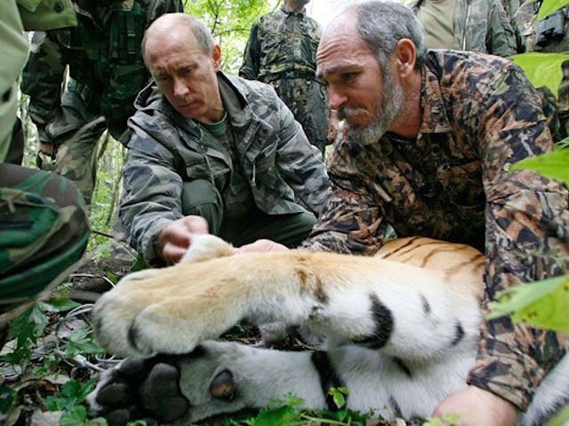 Спасенный от браконьеров амурский тигр умер от истощения
