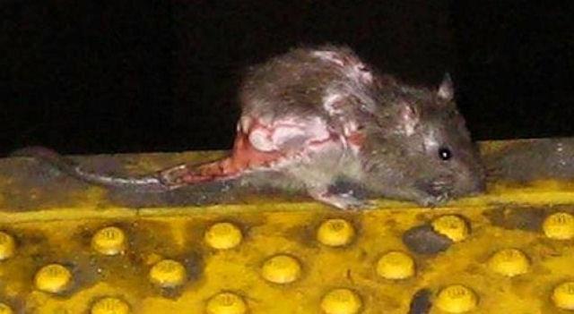 В Нью-Йорке провели конкурсы на самую уродливую крысу метро