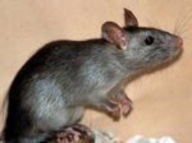Усики помогают крысам видеть в темноте
