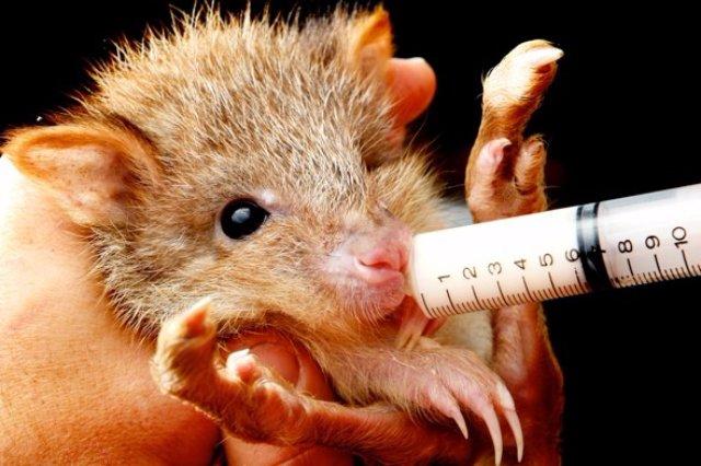 В Австралии живёт самая милая крыса в мире