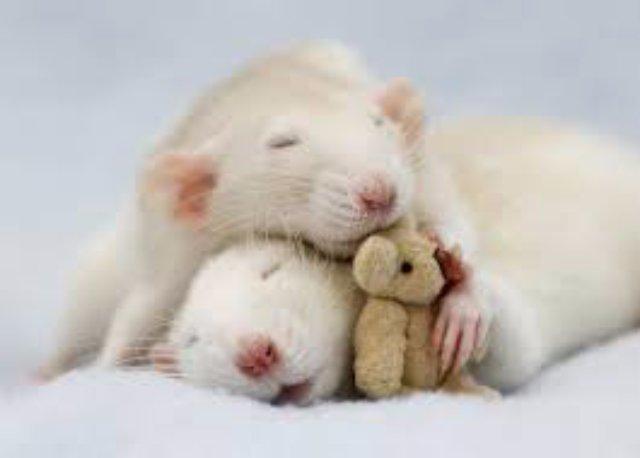 В Челябинске спасли удава, которого укусила крыса