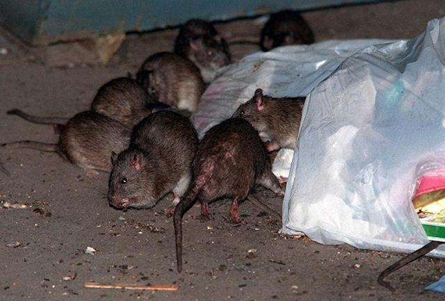В доме жительницы Вашингтона расплодилась сотня крыс