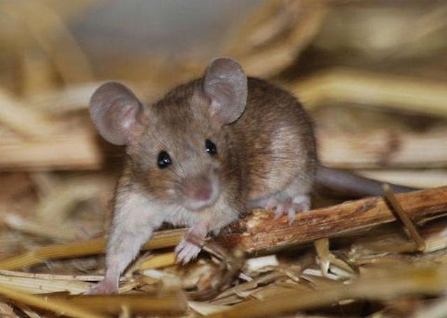 В Европе живут мыши-мутанты