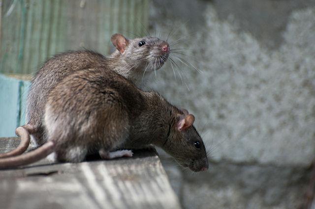В Филадельфии пытаются избавиться от гигантских крыс