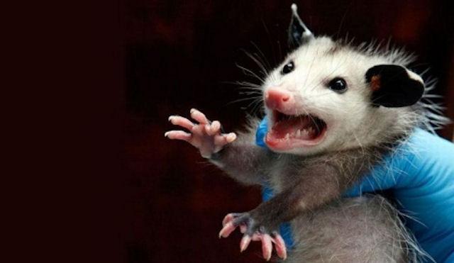 В Гае объявлен карантин из-за бешеной мышки