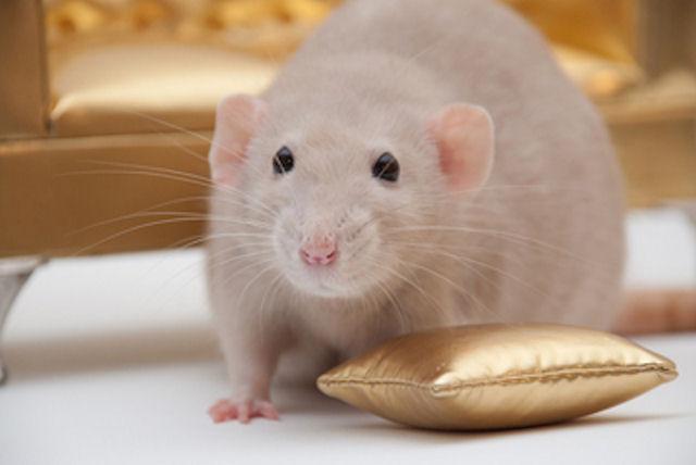 В гости к екатеринбуржцам приехали крысята Дамбо