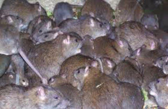 В Индии обнаружено крысиное царство