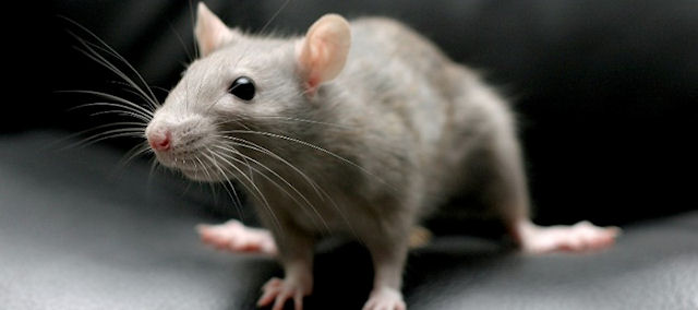 В Италии будут судить мужчину, который выбросил из окна 6 крыс